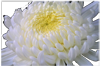 chrysanthemum polycystic kidney disease blood pressure PKD pld